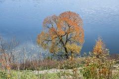 Einsamer gelb gefärbter Baum vor dem hintergrund eines Flusses Lizenzfreies Stockbild