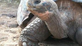 Einsamer George ist die weltberühmte Schildkrötenschildkröte 400 Jahre alt in Galapagos stock footage