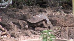 Einsamer George ist weltberühmte Schildkrötenschildkröte, die 400 Jahre in Galapagos alt ist stock video footage