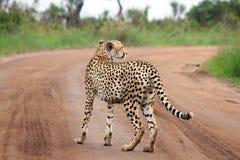 Einsamer Gepard Stockfotografie