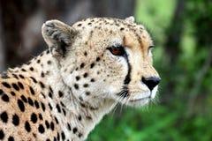 Einsamer Gepard Stockbilder