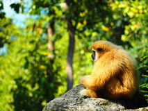 Einsamer Gibbon Lizenzfreie Stockfotos