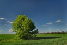 Einsamer grüner Baum auf einem grünen Feld Stockfotos