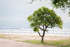 Einsamer grüner Frangipanibaum, Plumeriabaum nahe dem Strand lizenzfreie stockfotografie