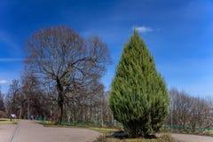 Einsamer grüner Thuja auf dem Hintergrund der bloßen Bäume des Frühlinges ohne irgendwelche Blätter und blauen klaren Himmel im P Stockbild