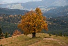 Einsamer Herbstbaum Stockbilder