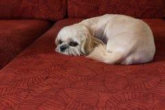 Einsamer Hund auf dem roten Sofa Lizenzfreie Stockfotos