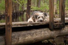 Einsamer Hund, der auf der Brücke im Wald liegt Stockbilder