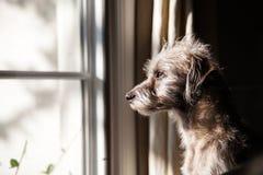 Einsamer Hund, der heraus Fenster schaut Stockfoto