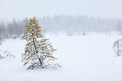 Einsamer immergrüner Baum unter starkem Blizzard Stockbild