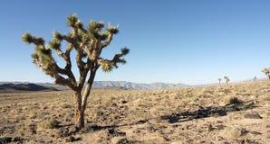 Einsamer Joshua-Baum Lizenzfreie Stockfotos
