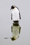 Einsamer König Penguin auf einem Felsen Lizenzfreie Stockbilder