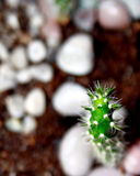 Einsamer Kaktus Lizenzfreies Stockfoto