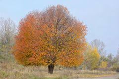 Einsamer Kirschbaum Lizenzfreies Stockfoto