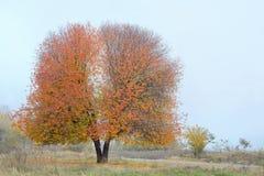 Einsamer Kirschbaum Stockfoto