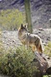 Einsamer Kojote Stockbild