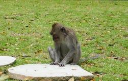 Einsamer Makakenaffe, der auf dem großen Stein wartet seinen Freund im Garten sitzt lizenzfreies stockbild