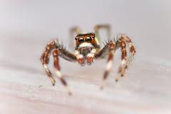 Einsamer Mannzwei-gestreiftes springendes Spinne Telamonia-dimidiata, Salticidae, das auf ein grünes Blatt stillsteht und kriecht lizenzfreies stockbild