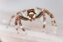 Einsamer Mannzwei-gestreiftes springendes Spinne Telamonia-dimidiata, Salticidae, das auf ein grünes Blatt stillsteht und kriecht stockfoto