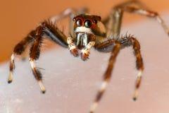 Einsamer Mannzwei-gestreiftes springendes Spinne Telamonia-dimidiata, Salticidae, das auf ein grünes Blatt stillsteht und kriecht stockbild