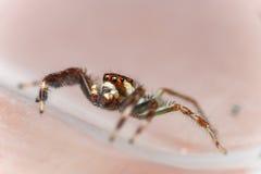 Einsamer Mannzwei-gestreiftes springendes Spinne Telamonia-dimidiata, Salticidae, das auf ein grünes Blatt stillsteht und kriecht stockbilder
