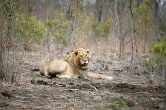 Einsamer männlicher Löwe Stockfotos