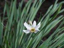 Einsamer Narcissus Flower lizenzfreies stockbild