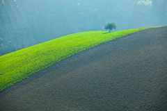 Einsamer Olivenbaum Lizenzfreies Stockbild