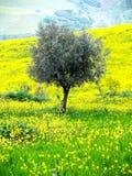 Einsamer Olivenbaum Stockbilder