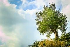 Einsamer Olivenbaum auf Hügel stockfoto