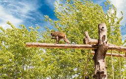 Einsamer Pavian, der auf einen Stamm am Zoo geht Stockfotos