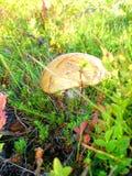 Einsamer Pilz Stockfotos