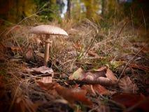 Einsamer Pilz in einem wilden und romantischen forrest lizenzfreie stockfotos