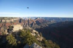 Einsamer Rabe über Grand Canyon Stockfotografie