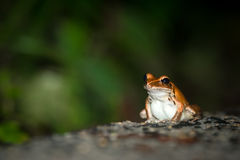 Einsamer Rocket Frog Sitting On Road im Regenwald Stockbilder