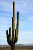 Einsamer Saguarokaktus in der Wüste Stockfotografie