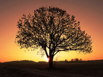 Einsamer schamloser Baum gegen Sonnenunterganghimmel Stockfoto