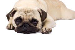 Einsamer schauender Pug Stockfoto
