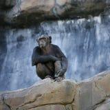 Einsamer Schimpanse Stockbild