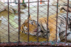 Einsamer Schlaf des großen königlichen Tigers Stockfotos