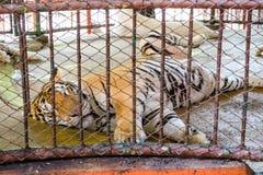 Einsamer Schlaf des großen königlichen Tigers Stockfotografie