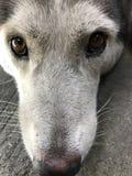 Einsamer Schlittenhund lizenzfreie stockfotos