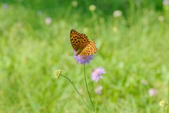 Einsamer Schmetterling auf Wiese mit Blumen lizenzfreie stockfotografie