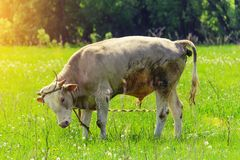 Einsamer Stier, eine Kuh, die in einer Wiese weiden lässt stockfotos
