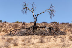 Einsamer toter Baum in einer trockenen Landschaft Stockfotografie