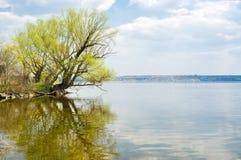 Einsamer verzweigter Weidebaum neben einem großen Fluss Stockbild