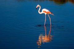 Einsamer Vogelflamingo Lizenzfreie Stockfotografie
