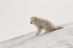 Einsamer weißer Hund auf dem Hügel Stockfotografie