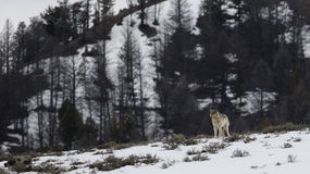 Einsamer Wolf auf einem Gipfel Lizenzfreies Stockfoto