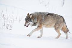 Einsamer Wolf, der in den Schnee geht Stockfoto